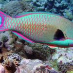 ปลานกแก้ว สีสันสดใสแห่งท้องทะเล