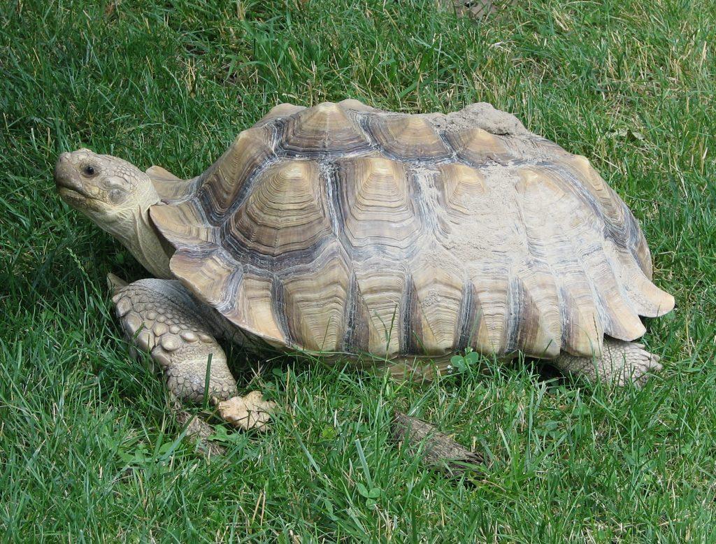 'เต่ายักษ์ซูลคาต้า' สัตว์แปลกน่าเลี้ยง Exotic Pet