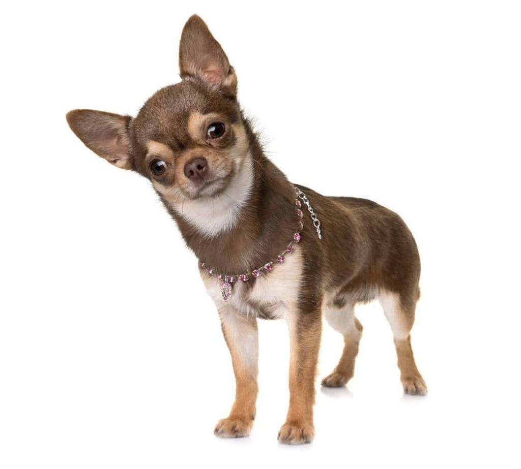 ข้อมูลของสุนัขชิวาวา เรื่องทั่วไป เกร็ดความรู้รอบตัว เทคนิคต่างๆ สาระน่าสนใจ สุนัขชิวาวา